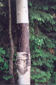 Birch Bark Stripping 1